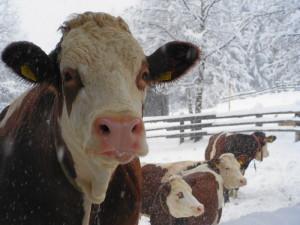 "Kühe im ""Winterauslauf"""