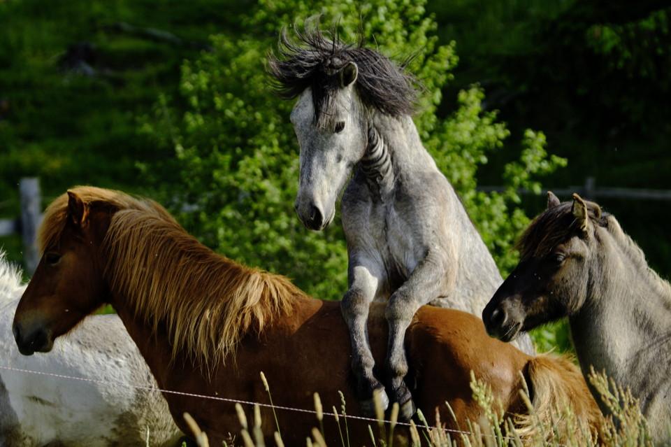 Pferde im Überschwang
