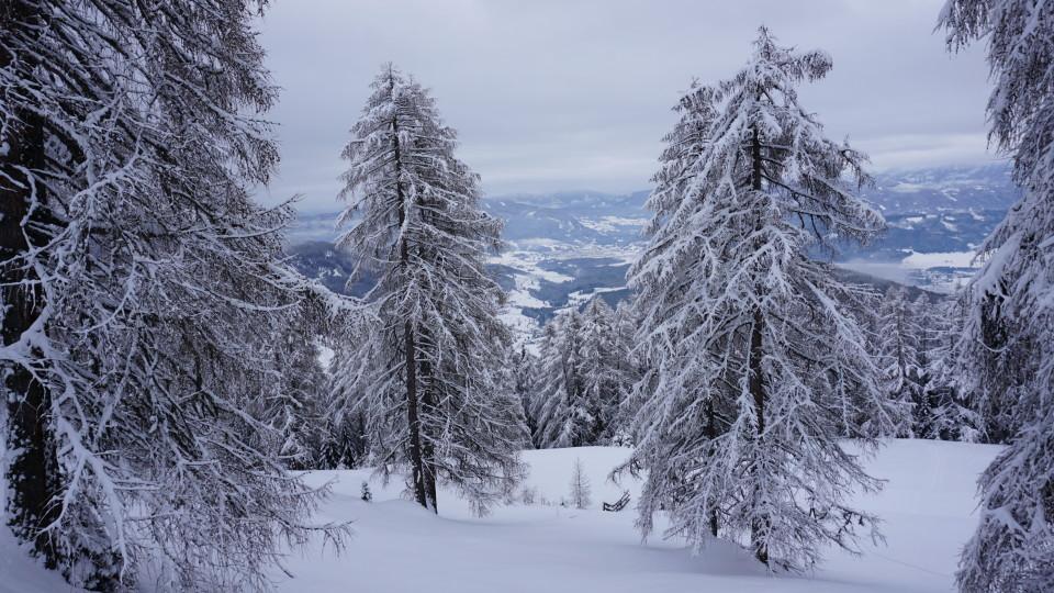 Lärchen im Winterkleid