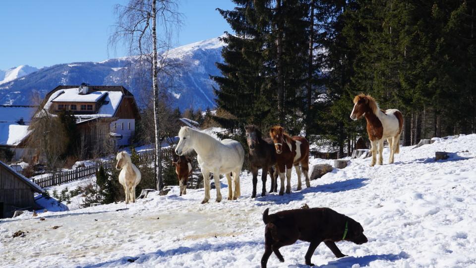Pferde im Winterauslauf
